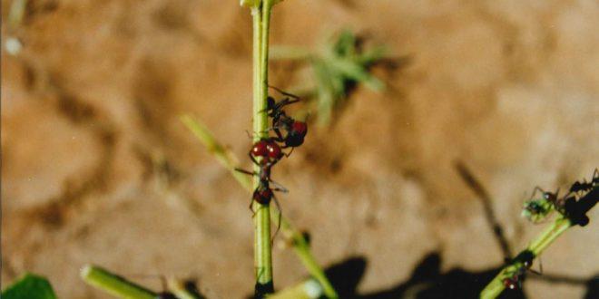 Bayer Florestal: Manejo de formigueiros resulta em melhor desempenho da cultura de eucalipto