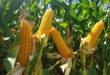 Brevant® Sementes lança híbrido de milho verão com alto potencial produtivo e resultados superiores em diversas regiões do Brasil